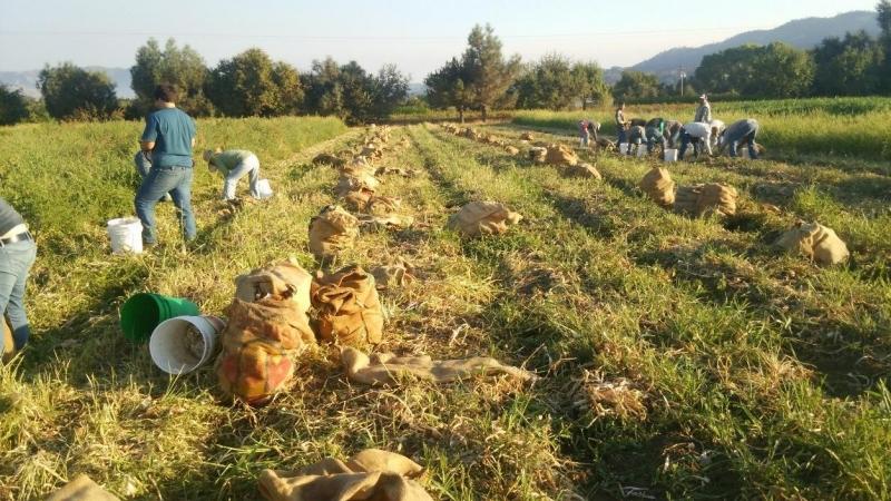 玉ねぎの収穫。この袋の回収作業がまあ腰にくる。