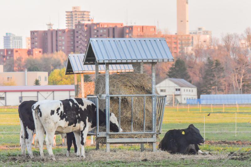 北大農場でくつろぐ牛たち